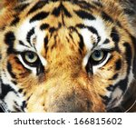 Close Up Eye Of Tiger