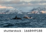 Northern Norway Male Orca...