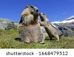 A Marmot Mother With Her...