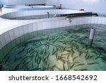 Small photo of Khabarovsk Krai, Russia - January 28, 2020: Rainbow trout (Oncorhynchus mykiss) fingerlings in the hatchery incubator. Fish farm for artificial breeding of salmon. Khabarovsk Krai, far East, Russia