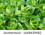 fresh organic green oak lettuce ...   Shutterstock . vector #1668639682