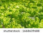fresh organic green oak lettuce ...   Shutterstock . vector #1668639688