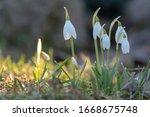Snowdrop Spring Flowers. Fresh...