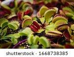 Carnivorous Dionaea Msucipula...