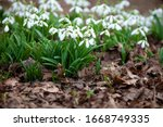 Blooming Snowdrops In The...