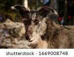 Lurcher Mutt With Funny Ears