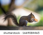 Close Up Squirrel Eating A Nut...