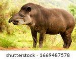 Tapir America South Tapirus...