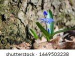 Spring Snowdrop Blue. Spring...