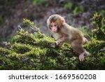 Baby Japanese Macaque Climbing...