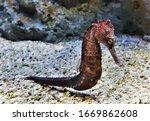 The Common Seahorse  Estuary...