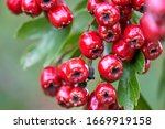 Red Fruit Of The Hawthorn ...