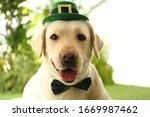 Labrador Retriever With...