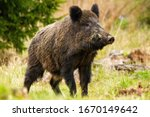 Small photo of Dominant wild boar, sus scrofa, male sniffing with massive snout with white tusks on meadow. Majestic wild mammal standing on grass in spring from side view