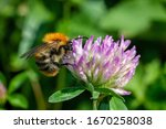 A Bumblebee Polinating...