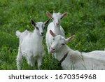 Goats On Family Farm. Herd Of...
