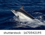 Black Marlin On The Great...