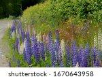 Garden Lupin  Lupinus...
