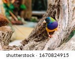The Gouldian finch (Erythrura gouldiae), also known as the Lady Gouldian finch, Gould