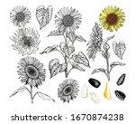 Sunflowers Set. Black Outlines...