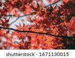 red japanese momiji maple... | Shutterstock . vector #1671130015