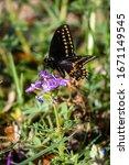 Black Swallowtail Butterfly On...