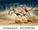 Race Track Training Greyhound...
