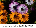 Four Colored Daisies In A...