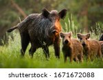 Family Of Wild Boar  Sus Scrof...
