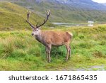 Wild Red Deer In The Scottish...