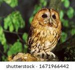 Eurasian Tawny Owl  Strix Aluco