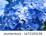 Macro Photo Of Hydrangea Flowe...