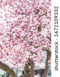 Pink Magnolia Spring Blossom...