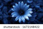 Blue Daisy With Raindrops. Blue ...