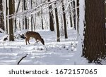 White Tailed Deer  Doe And Fawn ...