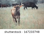 Herd Of Cows Pasturing Outdoors....
