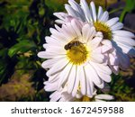 A Bee Collects Nectar On A...