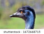 The Emu Is The Second Largest...