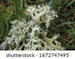 Grey Oak Moss On The Grass