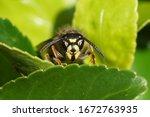 Queen Of A Common Wasp  Vespul...