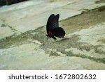 Butterfly Drinking Water  ...