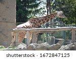 Giraffe Reaching Down For Some...