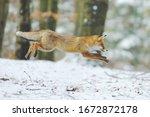 Red Fox  Vulpes Vulpes  Long...