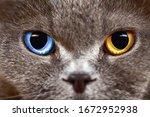 Adorable British Breed Cat Gray ...