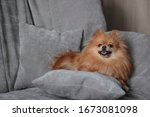 A Red Furry Pomeranian Lies On...