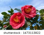 Two Beautiful Red Flowers On A...
