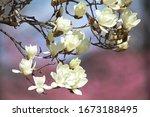Flower Of White Magnolia Kobus...