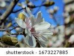 Gently Pink Magnolia Tree...