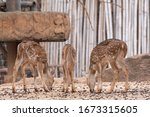 Three Young Deer Standing On...