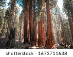 Sequoia Redwood Trees In The...
